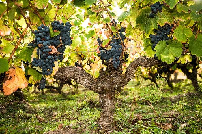 Cep de vigne - Photo Virginie Pontisso