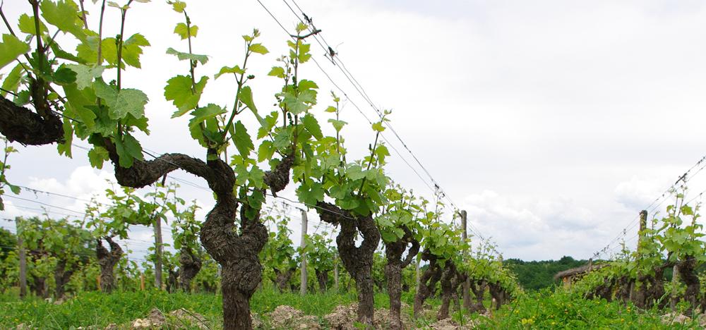 vignes Domaine Sauvète en juin