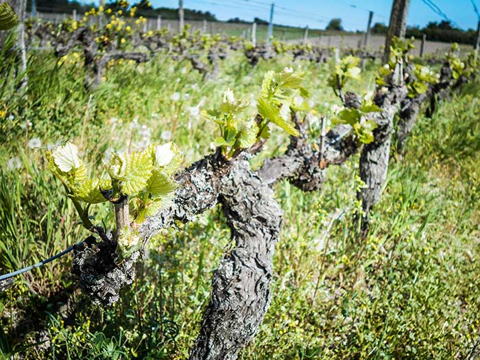 This essential task consists of removing numbers of buds - organic wine, Val de Loire